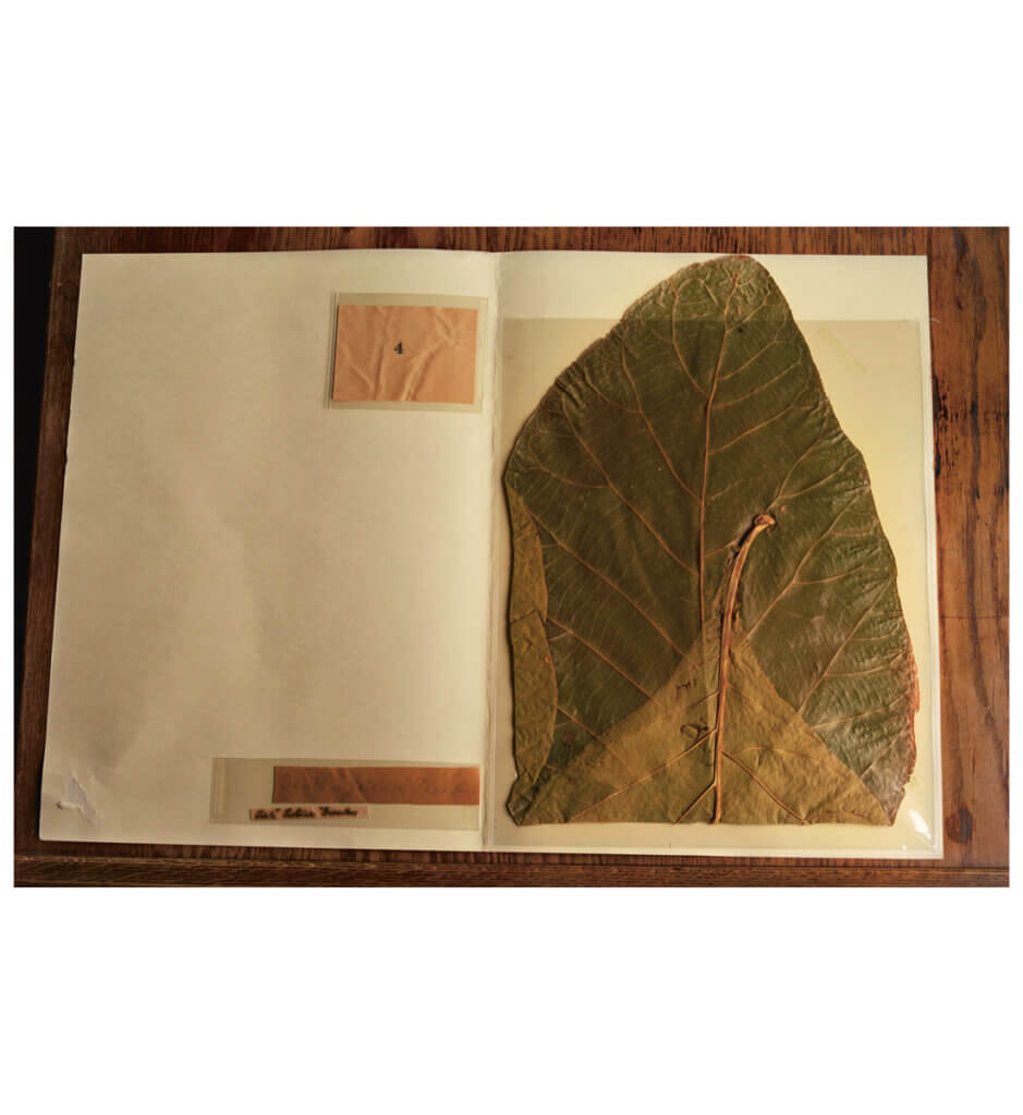 John Muir's botanical specimen